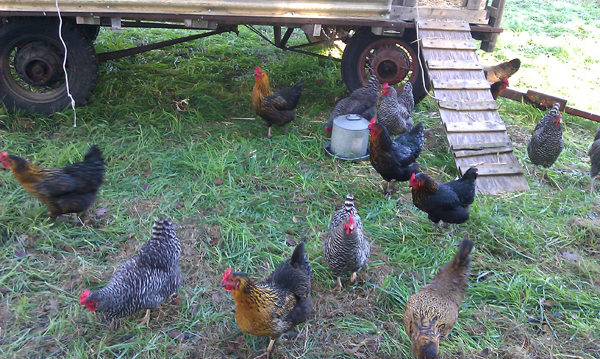 "(I enjoyed visiting the chickens—i.e., ""the ladies""—each morning.)"