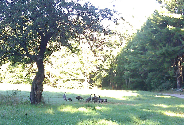 (This gang of wild turkeys would wander the colony. Years ago, on my first visit to the MacDowell Colony in 2005, I was surrounded by a flock of wild turkeys that followed me up to the door of my studio in a tight bunch and I called E in a panic. I stayed away from them this time... wary.)
